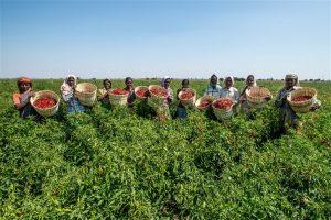 Workers plucking chillies, from the fields at Gabbur, district Raichur, Karnataka. Source Asian Development Bank