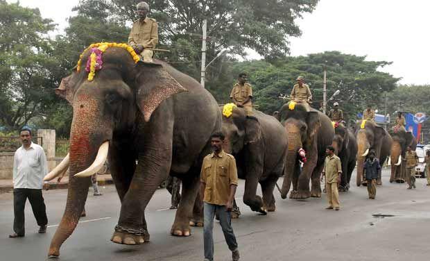 Elephants during Dasara 2013, dasara elephants