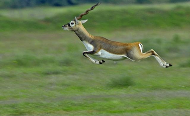 Jayamangali Blackbuck Reserve, Ranebennur Blackbuck Deer. Image source http://wikimapia.org/17838635/Ranebennur-Blackbuck-Deer-Sanctuary