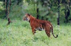 Wildlife Documentary In Karnataka, Kemmanagundi ,Indian Tiger at Bhadra wildlife sanctuary by Dineshkannambadi