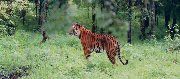 Indian Tiger at Bhadra wildlife sanctuary by Dineshkannambadi