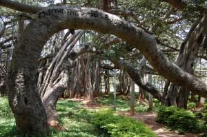 the Big Banyan Tree, Bangalore