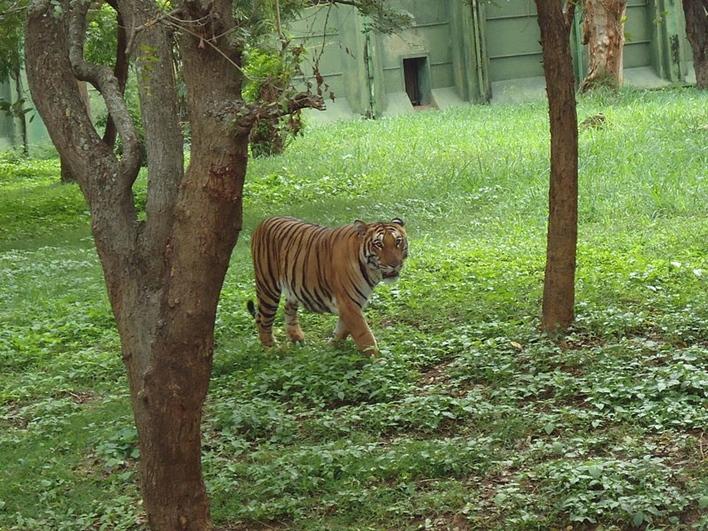 Mysore Zoo, Tiger at Mysore Zoo