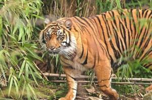 Wildlife Documentary In Karnataka, Tiger spotted at Someshwara Wildlife Sanctuary. Image source sanctuariesindia.com