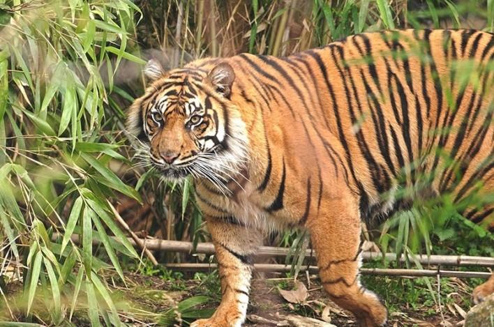 Tiger spotted at Someshwara Wildlife Sanctuary. Image source sanctuariesindia.com