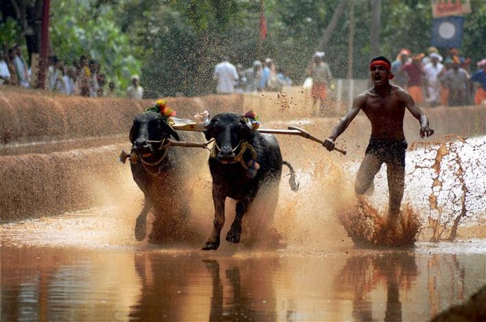 Buffalo Race in Mangaluru