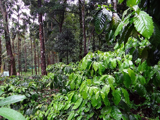 Silver Brook coffee planation, Coorg